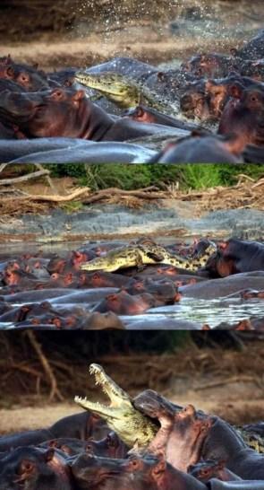 Cocodrilo sobre hipopótamos
