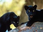 Panther kittens