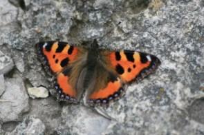 Hairy butterfly