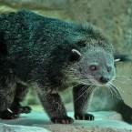 The REAL Bearcat