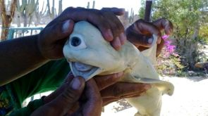 Albino cyclops shark