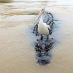 owed croc