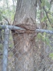 Tree nom