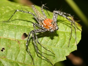 Red Sulawesi Lynx Spider wall
