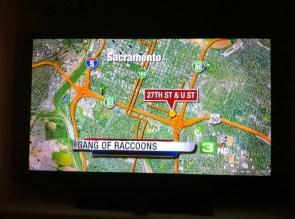 Raccoon gangs