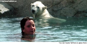 swimming with polar bears