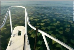 The great stingray migration!