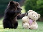 Bear Vs. Teddy Bear