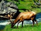 elk drinking water