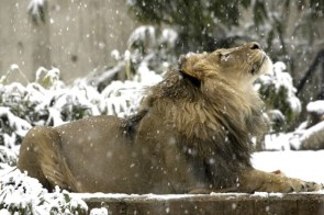 Snow Lion wallpaper