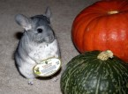 Chinchilla Helping With Food Prep