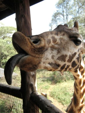 Giraffe – Pucker Up!
