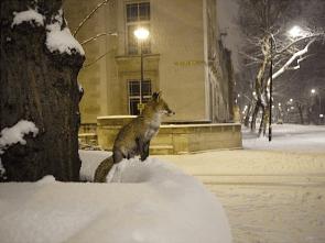 fox on snow