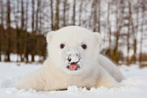 Baby polar bear's first snow