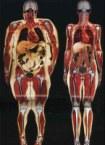 Fat Versus Skinny Anatomy