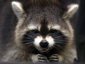 evil plot raccoon