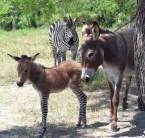 Zebrass