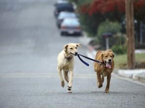 dog walking dog
