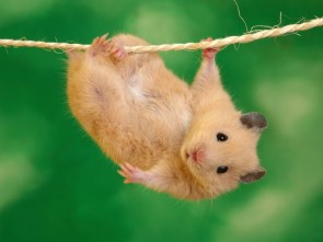 Gold rat