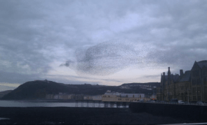 Starlings flying in the shape of a giant bird in Aberystwyth, Wales