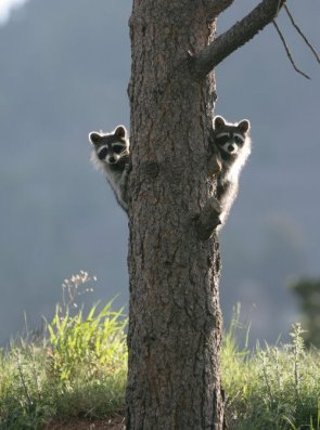 raccoons on tree