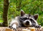 raccoon wants some food
