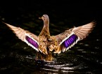duck opens its wings