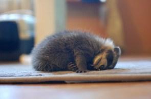 sleepy raccoon