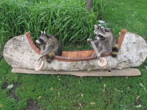 raccoon in cannons