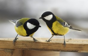 A pair of Great Tits