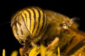 yellowed eyed bug
