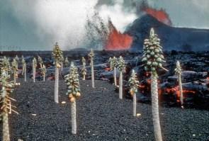 volcanic fruit