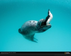 Leopard Seal with Penguin