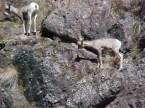 Mountain Sheep lambs