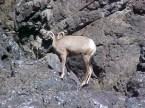 Snake River Mountain Sheep (female)