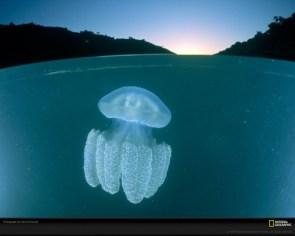Catostylus species jellyfish