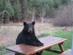 Camping Bear Waiting For His Food