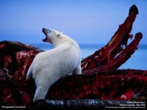 Polar Bear/Whale Carcass