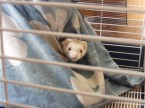 My ferrett, Binny Stick