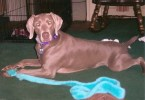 My Pet Dogs (Weimaraners) – Grace and Max