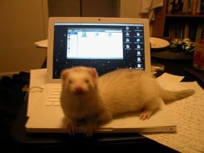 My Pet Ferret – Thunder