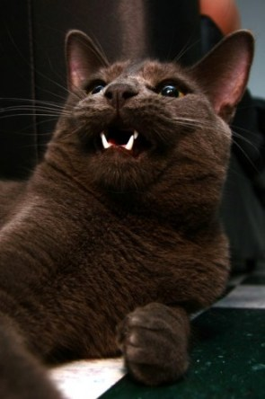 My Pet cat – Ash
