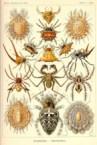 Haeckel:  Arachnida