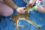 Rupert, the baby deer delevered via c-section