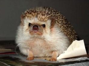Hedgehog is NOT Impressed