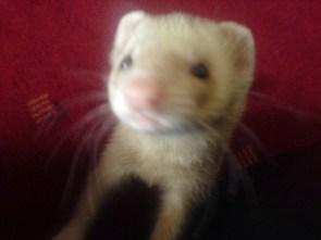 My Pet Ferret – Potter