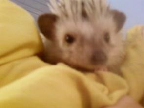 Guzu the hedgehog