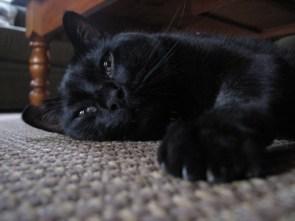 My Pet Cat- Blackie