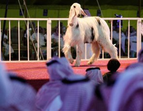 Saudi Arabia Holds First Beauty Pageant . . . for Sheep