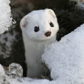 Baby Weasel Will Steal Your Soul